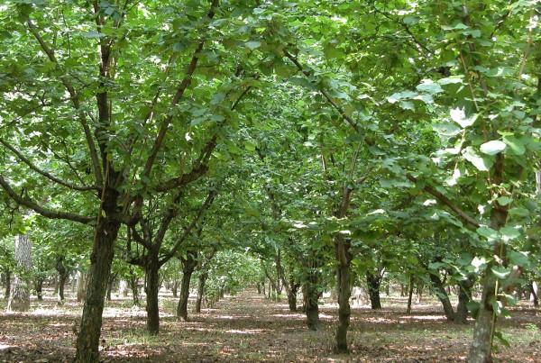 alberi-nocciole
